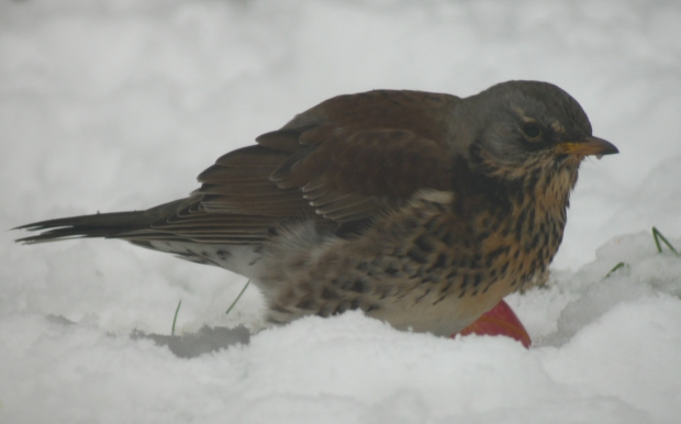 Nice to see a Fieldfare in the garden today.