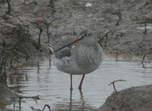 Spotted Redshank at Titchwell
