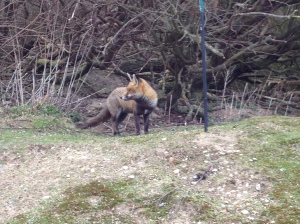Fox at Dungeness
