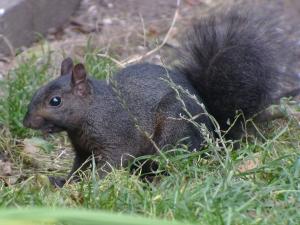 black sqirrel