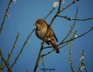 nightingale