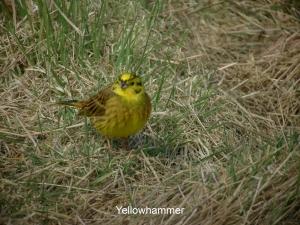 yellowhammer
