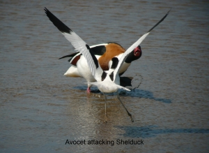 avocet attack