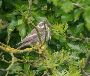 DuskyThrush18052013