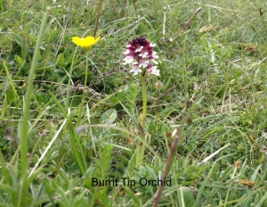 burnt tip orchid