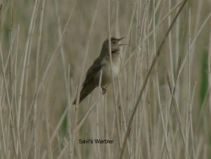 savi'swarbler