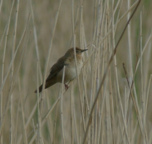 swarbler