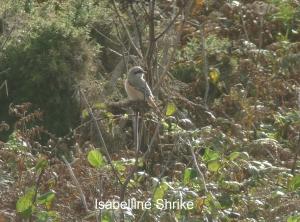 Isabelline Shrike