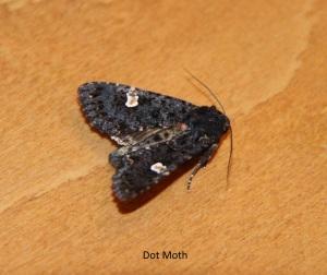 dot moth