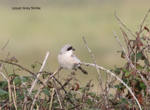 lesser grey shrike