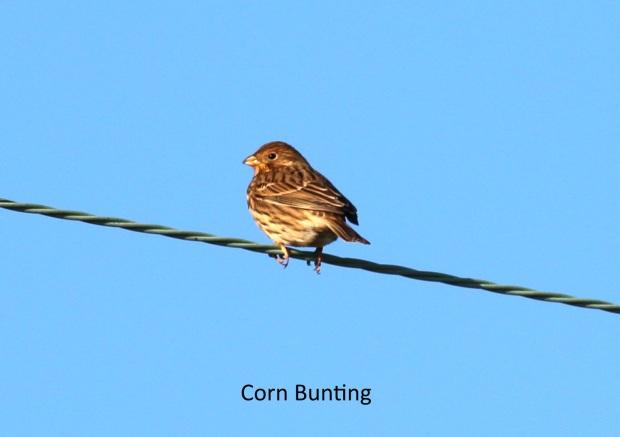 Corn Bunting 180115