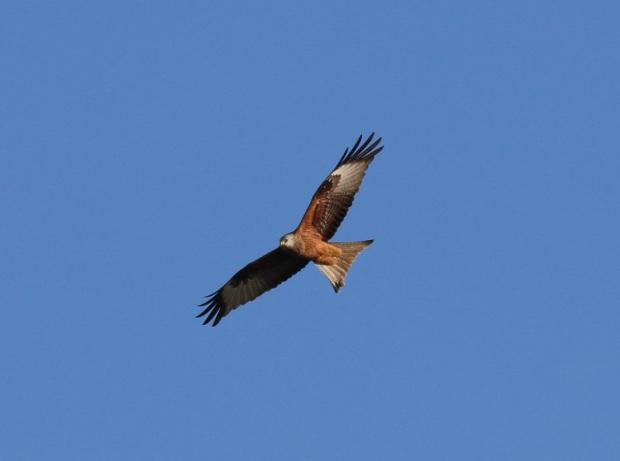 Red Kite 18012015